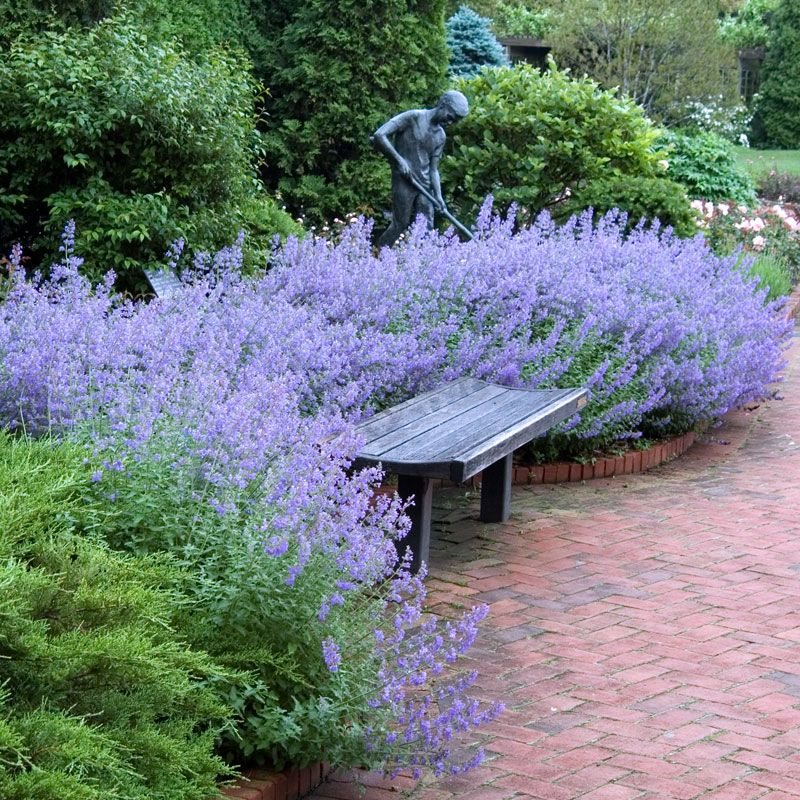 Catmint-'Walkers-Low-1 Top 10 Flowers that Bloom All Summer