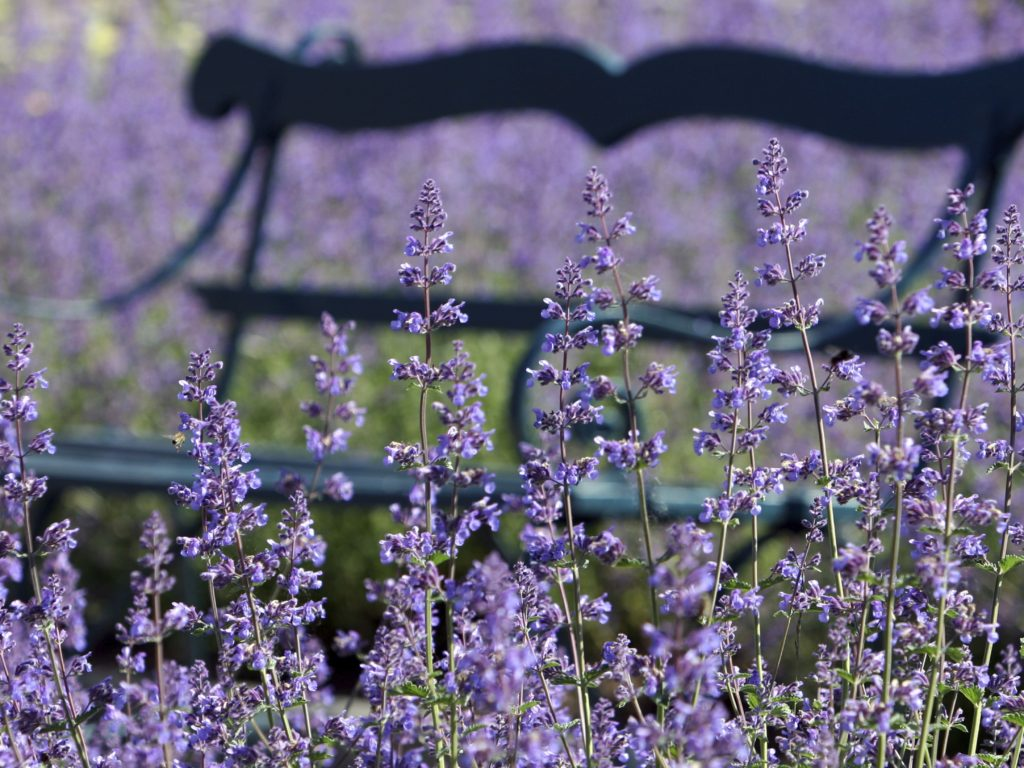 Catmint-'Walkers-Low-1024x768 Top 10 Flowers that Bloom All Summer