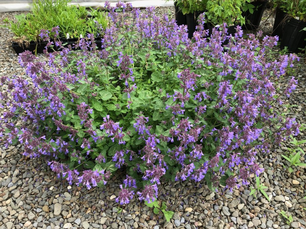 Catmint-1-1024x768 Best 30 Bright Colorful Flowers for Your Garden