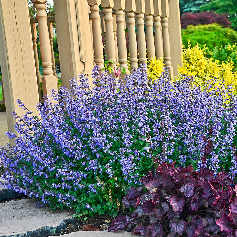 Catmint Best 30 Bright Colorful Flowers for Your Garden