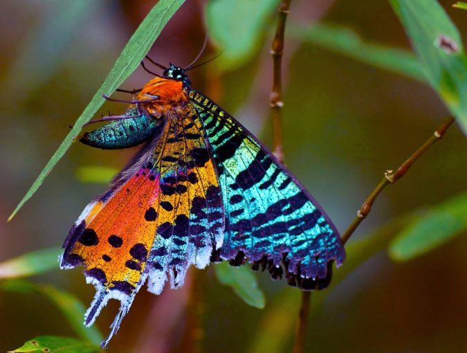 Chrysiridia-Rhipheus-675x510 Top 10 Most Beautiful Colorful Butterflies Species