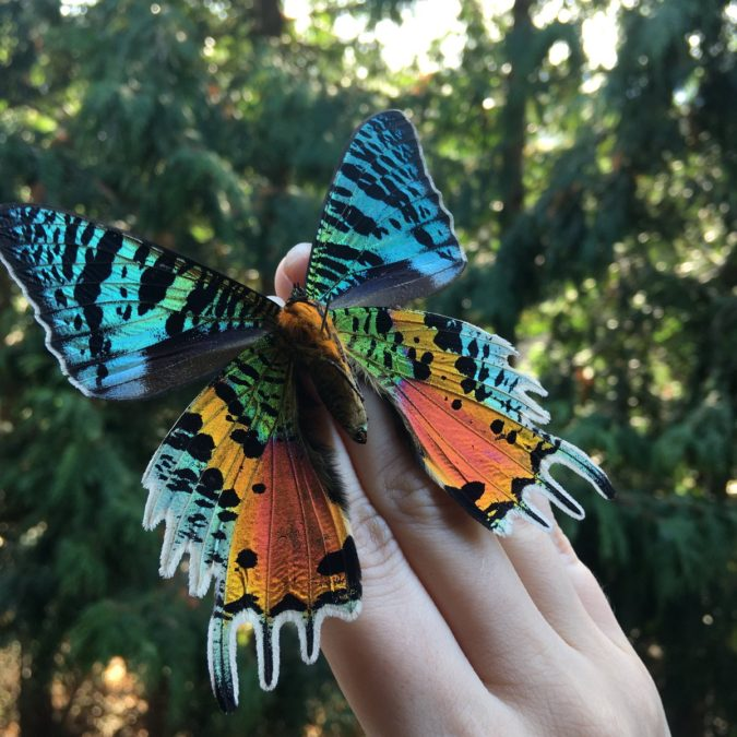 Chrysiridia-Rhipheus.-675x675 Top 10 Most Beautiful Colorful Butterflies Species