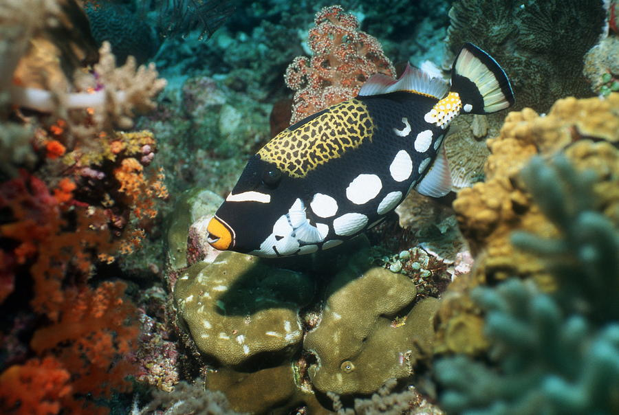 Clown-triggerfish-1 Top 10 Most Beautiful Colorful Fish Types
