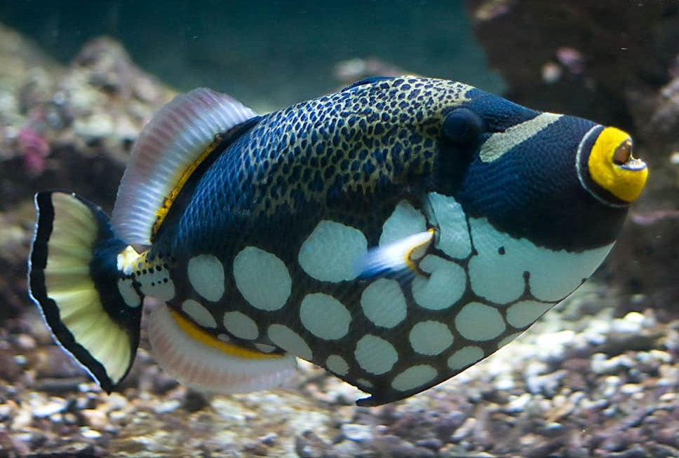 Clown-triggerfish. Top 10 Most Beautiful Colorful Fish Types