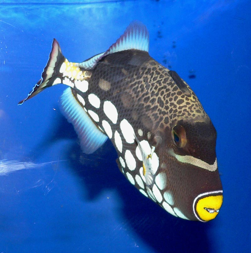 Clown-triggerfish Top 10 Most Beautiful Colorful Fish Types