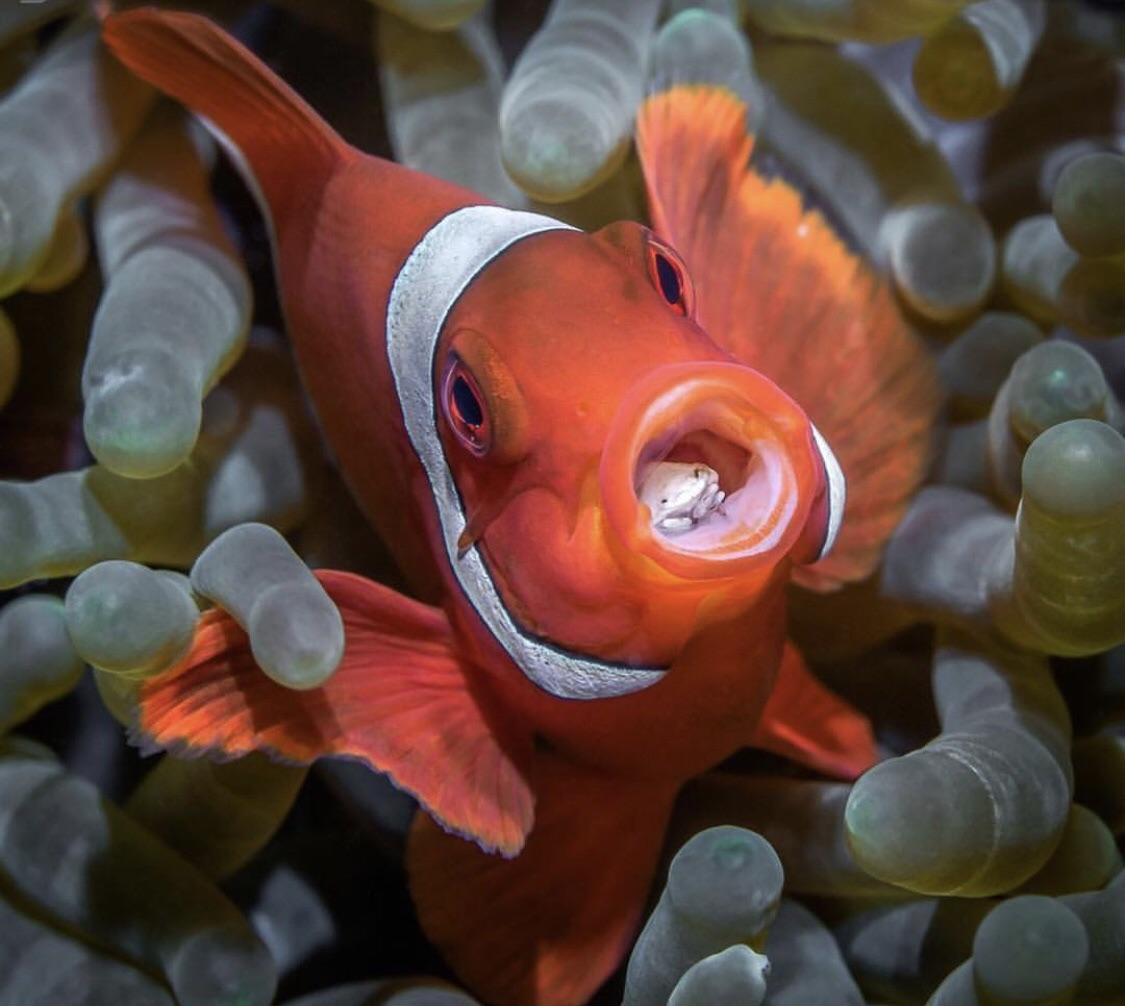 Clownfish-1 Top 10 Most Beautiful Colorful Fish Types
