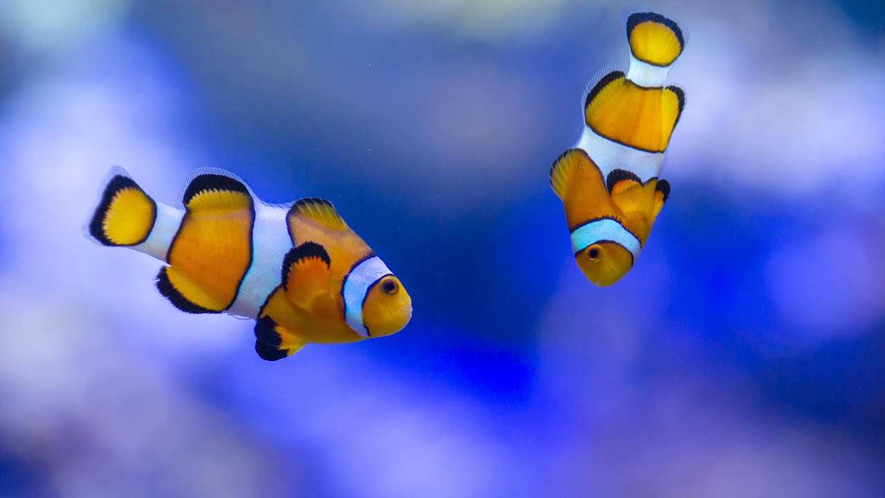 Clownfish-2 Top 10 Most Beautiful Colorful Fish Types