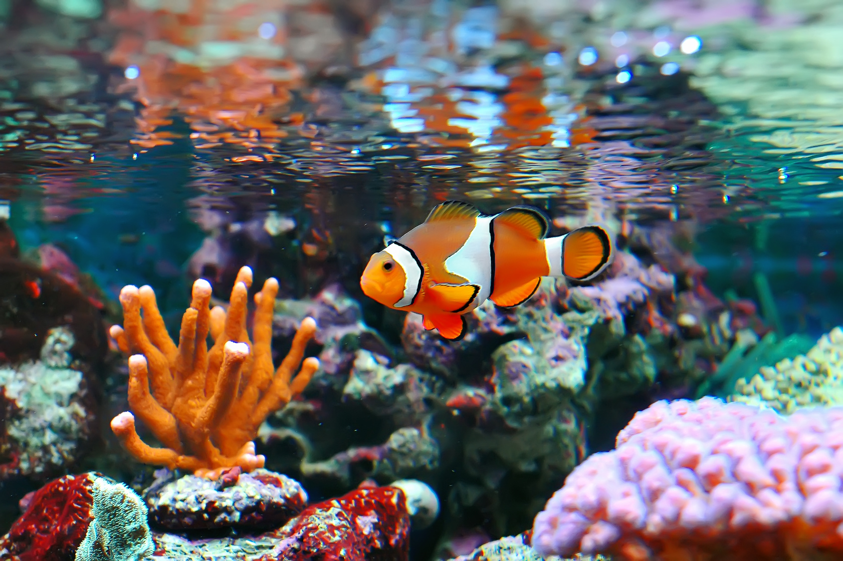 Clownfish.-1 Top 10 Most Beautiful Colorful Fish Types