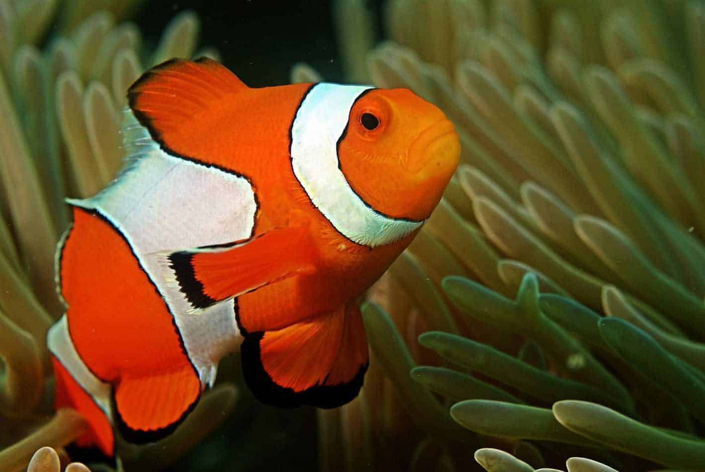 Clownfish.. Top 10 Most Beautiful Colorful Fish Types