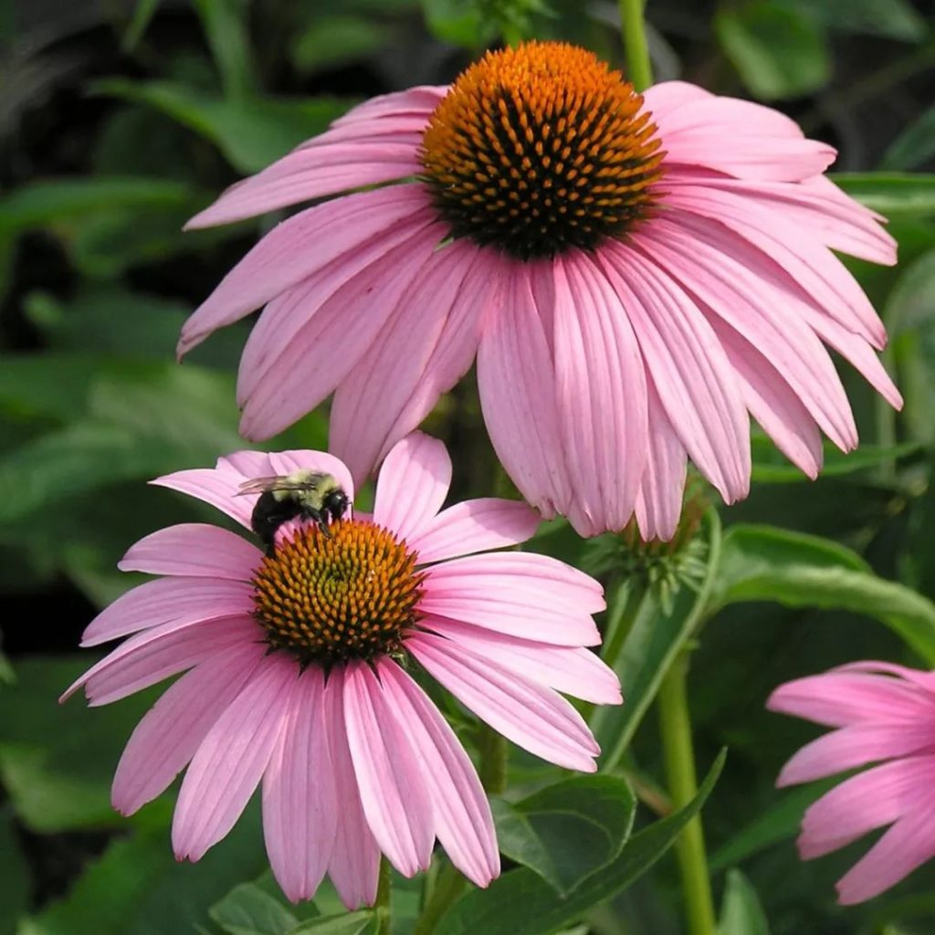 Coneflowers-1024x1024 Best 30 Bright Colorful Flowers for Your Garden