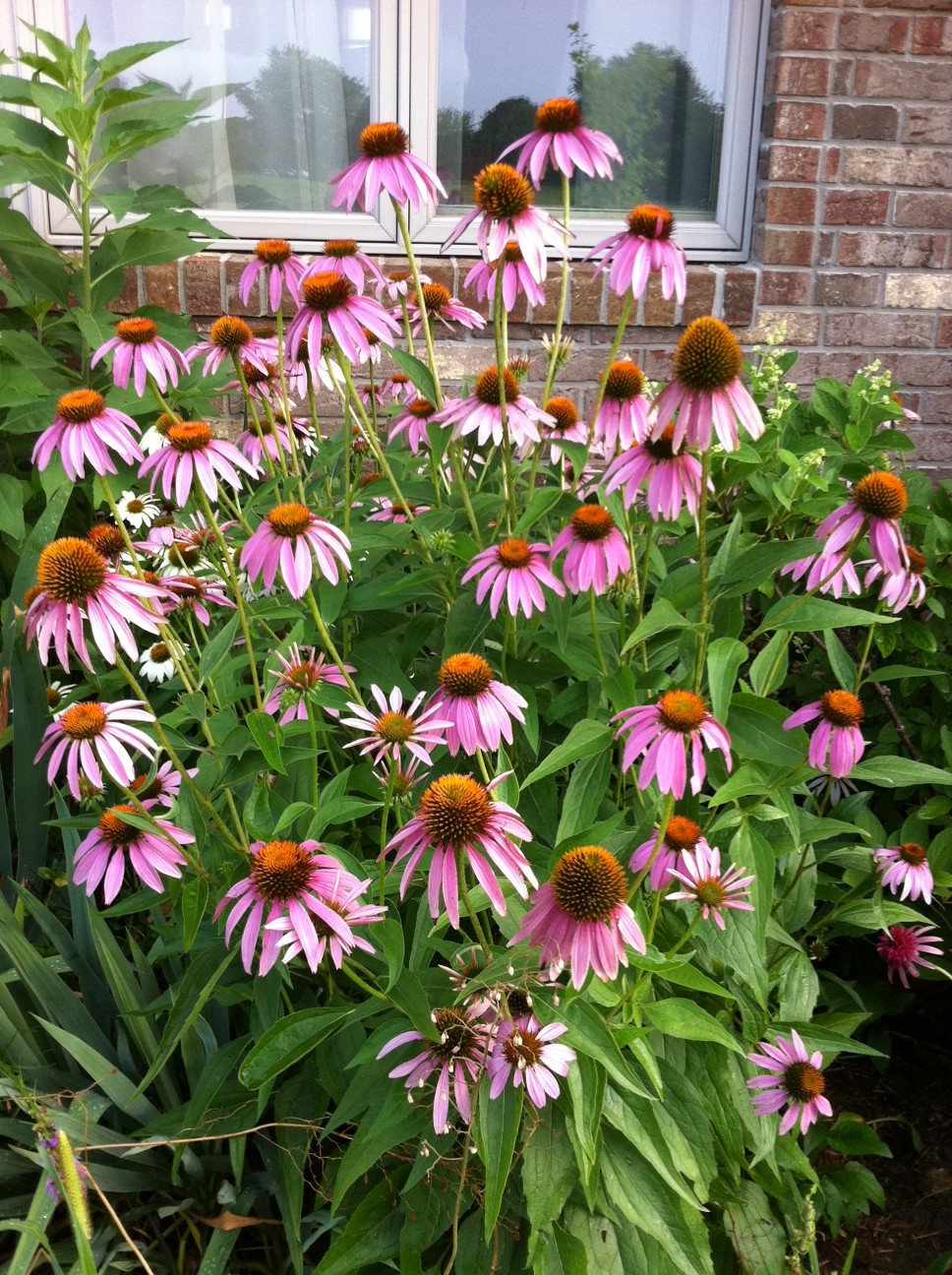 Coneflowers.-1 Best 30 Bright Colorful Flowers for Your Garden