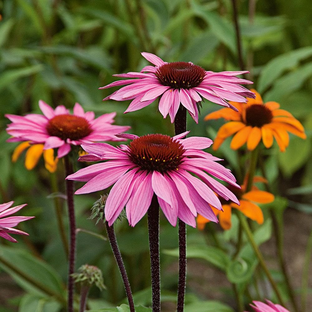 Coneflowers.. Top 10 Flowers that Bloom All Summer