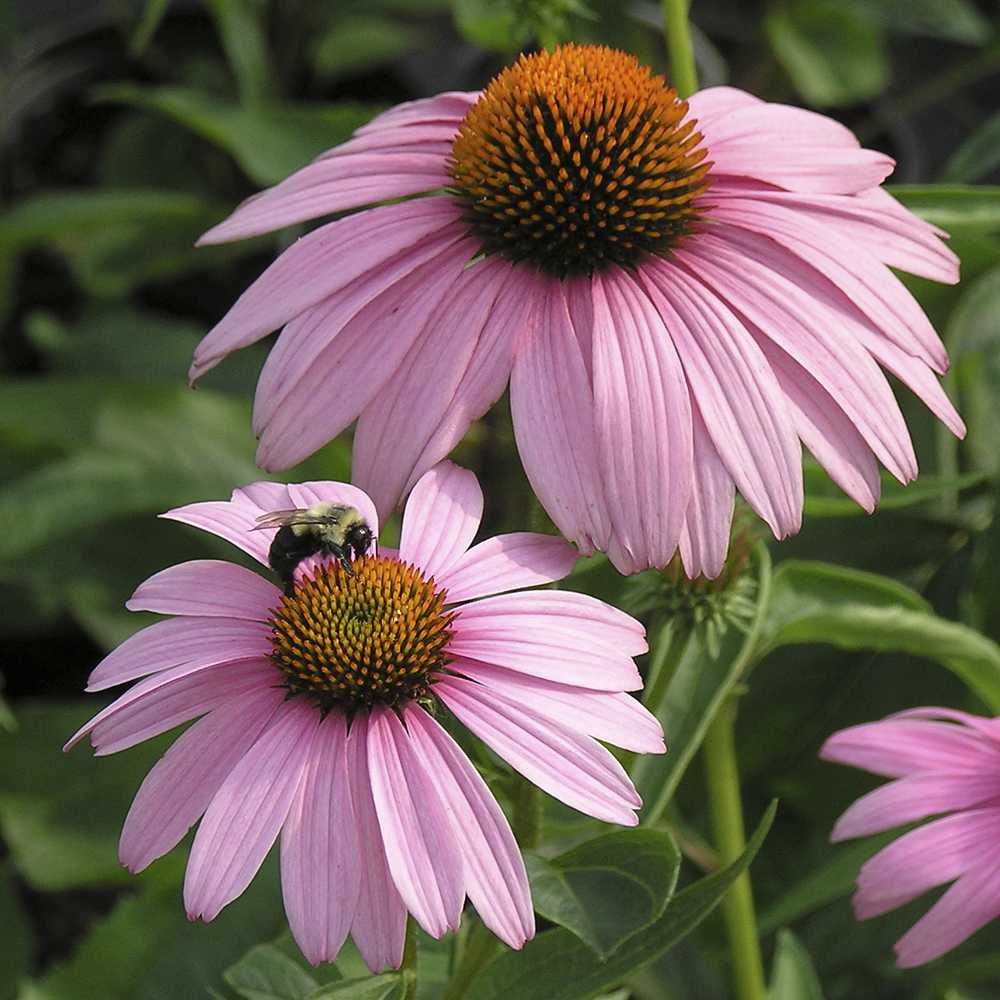 Coneflowers Top 10 Flowers that Bloom All Summer