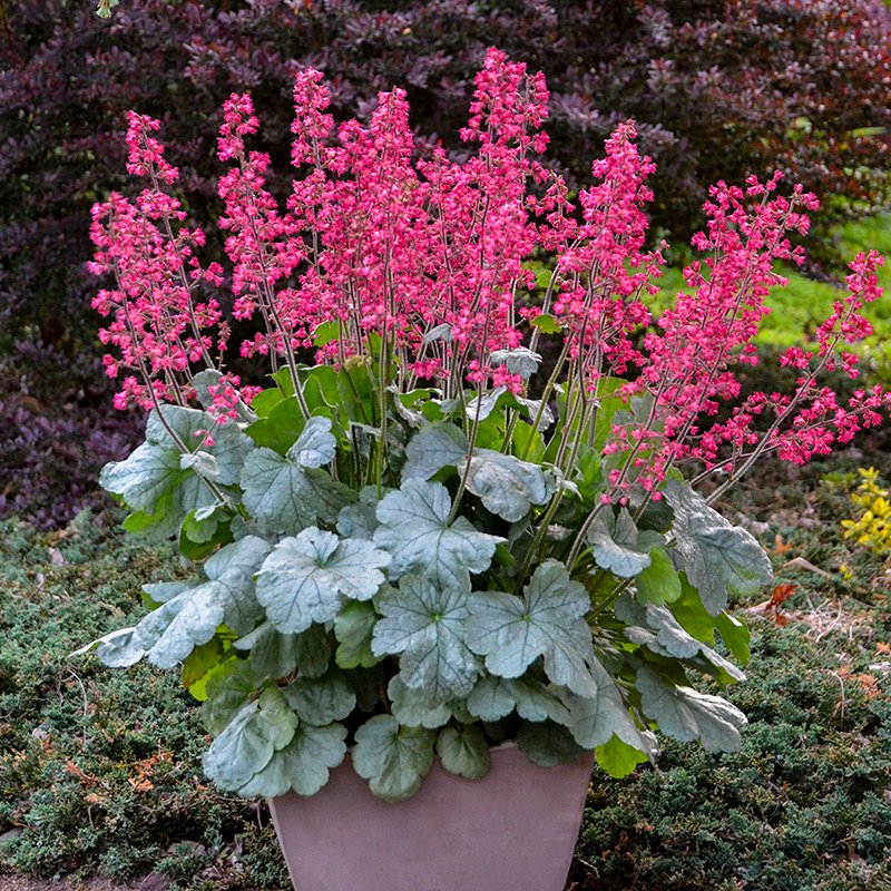 Coral-Bells Best 30 Bright Colorful Flowers for Your Garden
