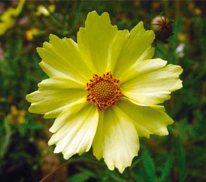 Coreopsis-'Full-Moon.-1-675x594 Top 10 Flowers that Bloom All Summer