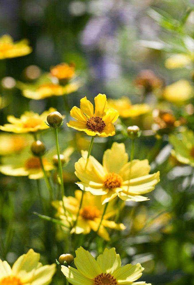 Coreopsis-'Full-Moon.-2-675x988 Top 10 Flowers that Bloom All Summer