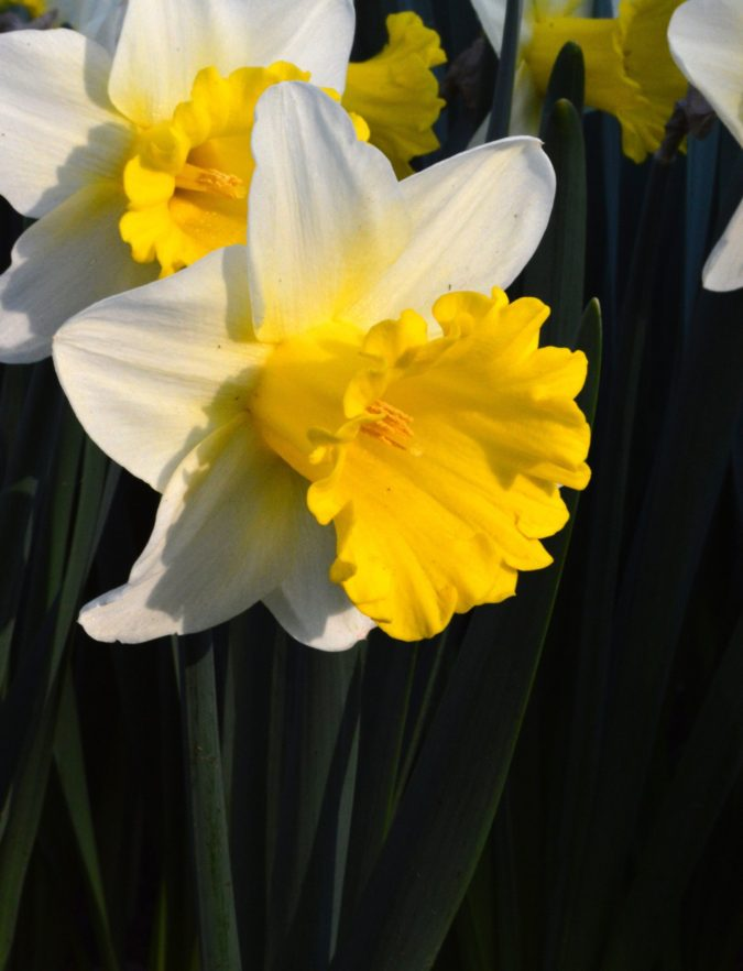 Daffodil-675x882 Best 30 Bright Colorful Flowers for Your Garden