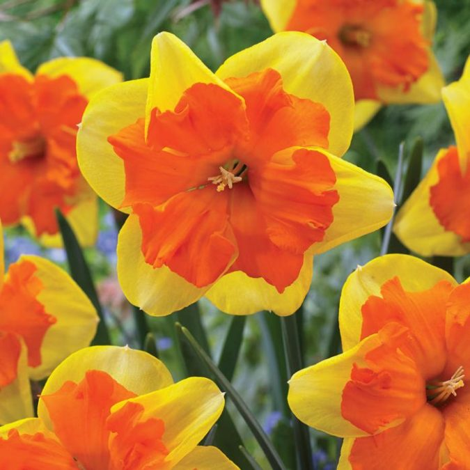 Daffodil..-675x675 Best 30 Bright Colorful Flowers for Your Garden