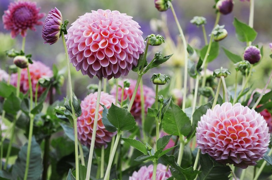 Dahlia Best 30 Bright Colorful Flowers for Your Garden