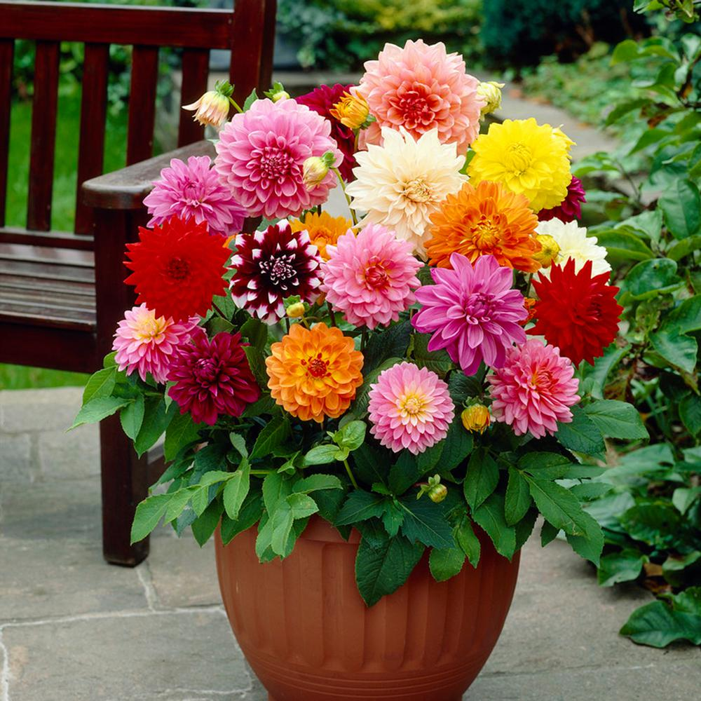 Dahlias-1 Best 30 Bright Colorful Flowers for Your Garden