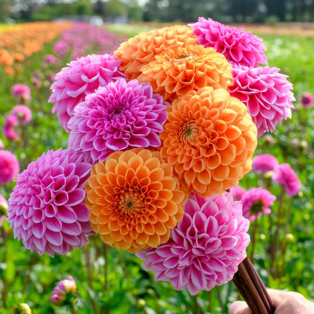Dahlias Best 30 Bright Colorful Flowers for Your Garden