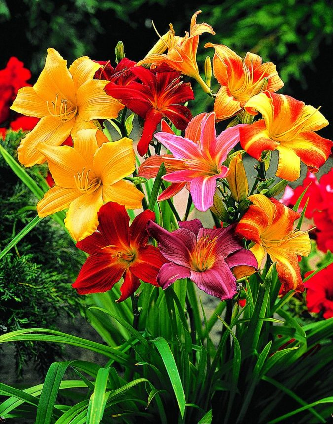 Daylily-3-675x860 Best 30 Bright Colorful Flowers for Your Garden