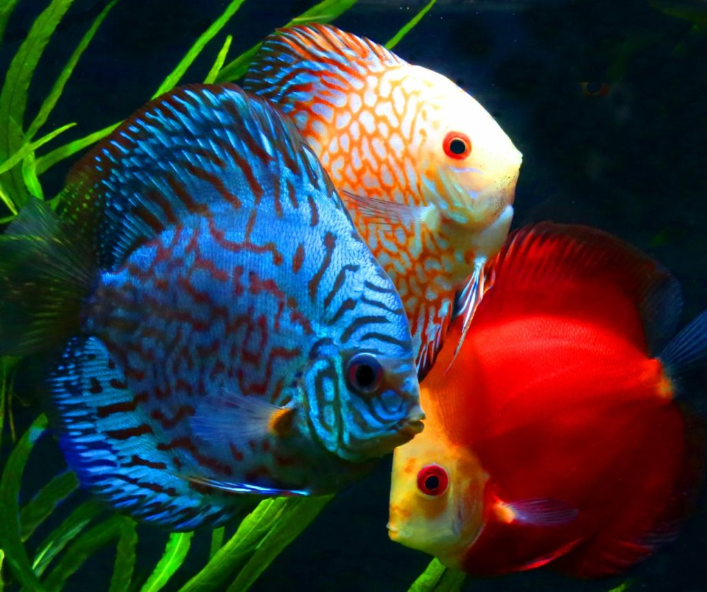Discus-1024x858 Top 10 Most Beautiful Colorful Fish Types