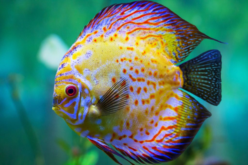 Discus.-1024x683 Top 10 Most Beautiful Colorful Fish Types