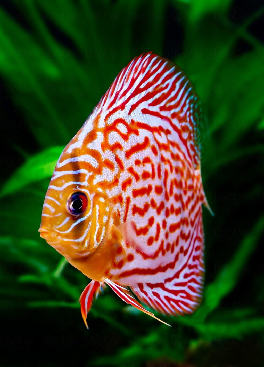 Discus.-2-1024x1421 Top 10 Most Beautiful Colorful Fish Types
