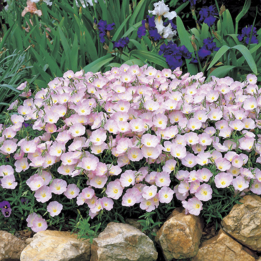 Evening-Primrose.-1 Best 30 Bright Colorful Flowers for Your Garden