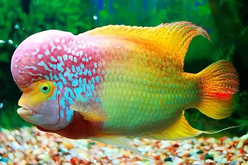 Flowerhorn-cichlid-e1597425707617 Top 10 Most Beautiful Colorful Fish Types