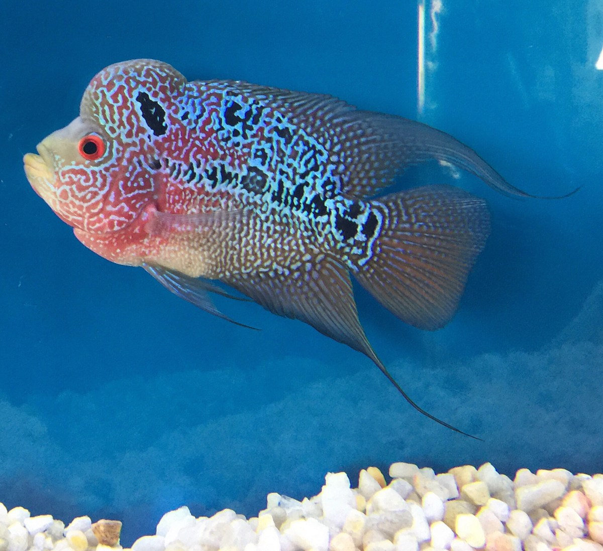 Flowerhorn-cichlid.-3 Top 10 Most Beautiful Colorful Fish Types
