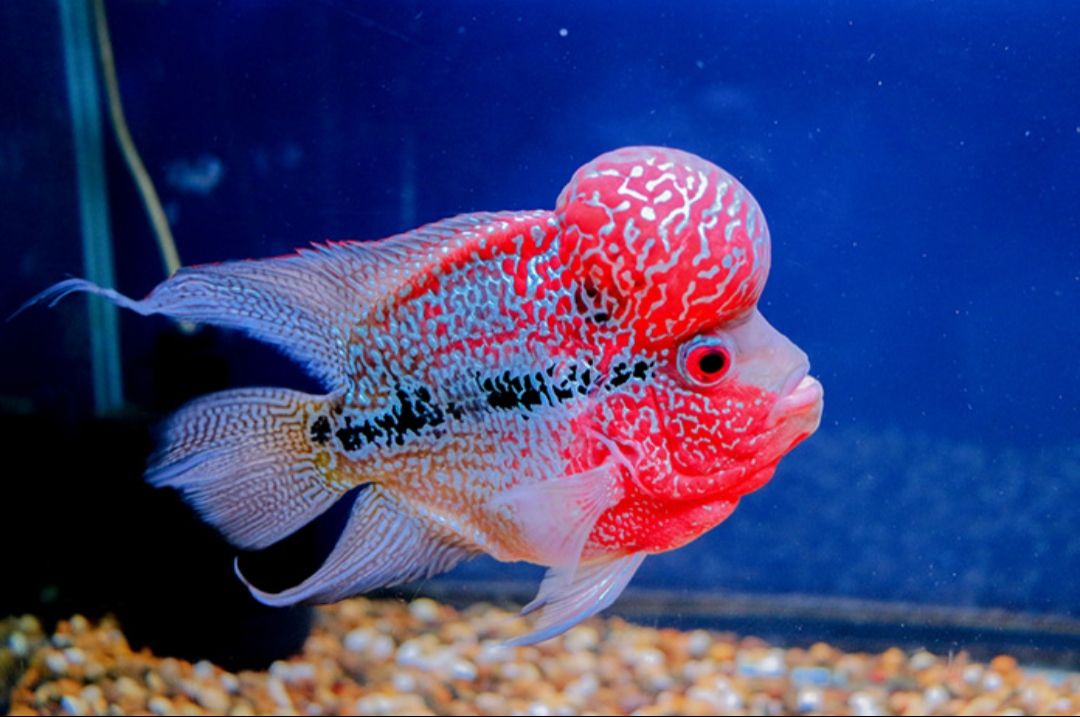 Flowerhorn-cichlid Top 10 Most Beautiful Colorful Fish Types