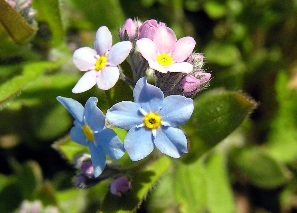 Forget-Me-Nots-1-1024x736 Best 30 Bright Colorful Flowers for Your Garden