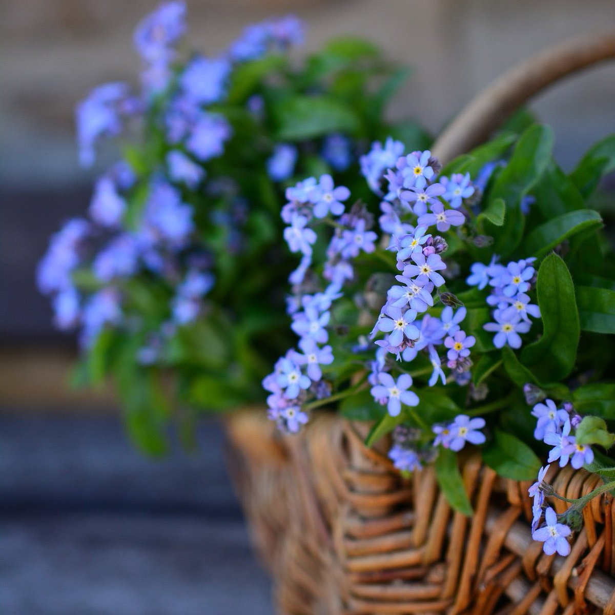Forget-Me-Nots-2 Best 30 Bright Colorful Flowers for Your Garden