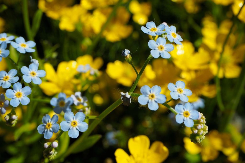 Forget-Me-Nots.-1024x683 Best 30 Bright Colorful Flowers for Your Garden