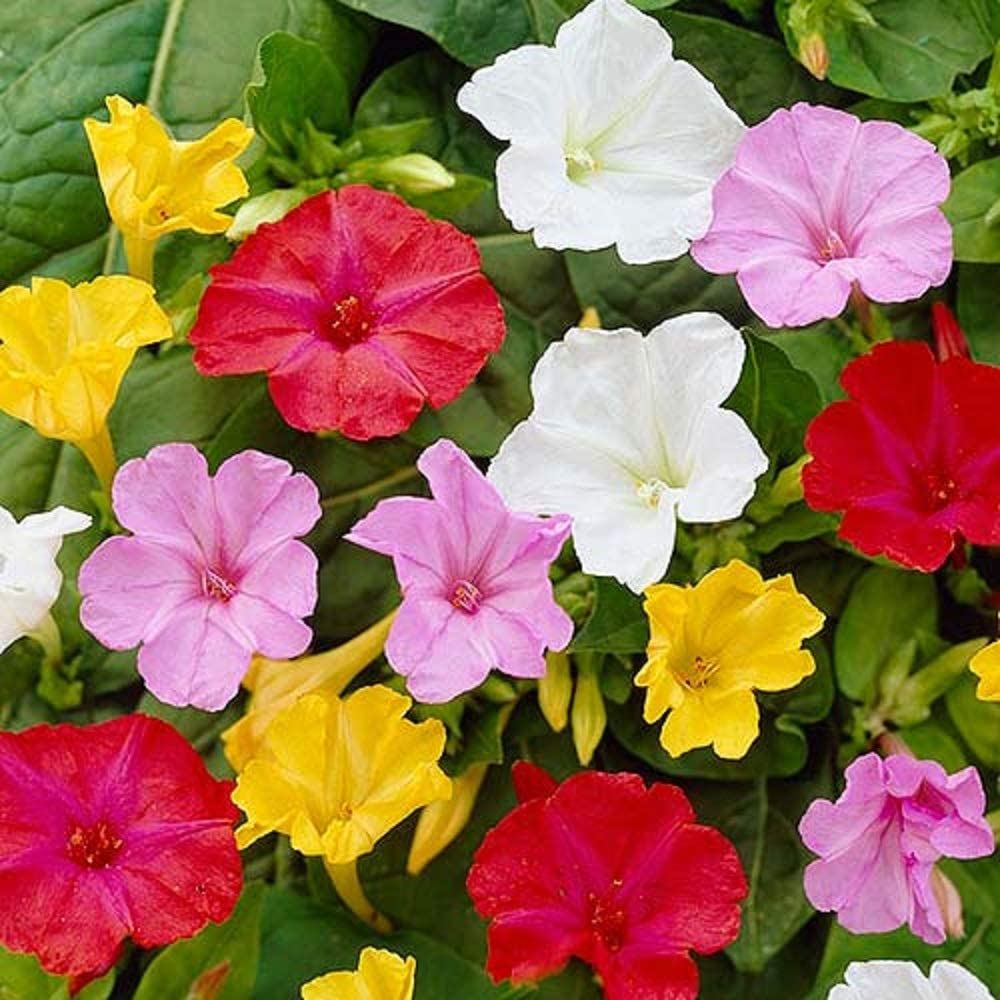 Four-Oclock-Flower-1 Top 10 Flowers that Bloom at Night