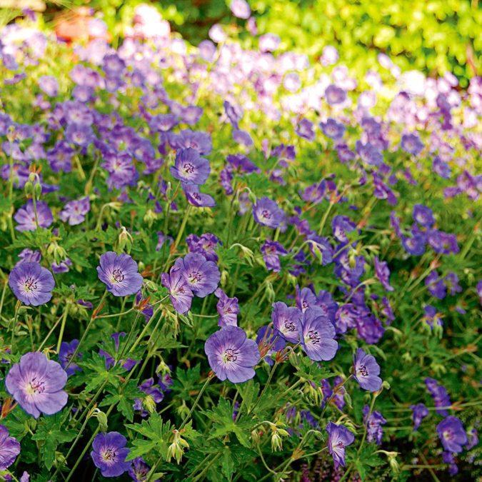 Geranium-'Rozanne-1-675x675 Top 10 Flowers that Bloom All Summer