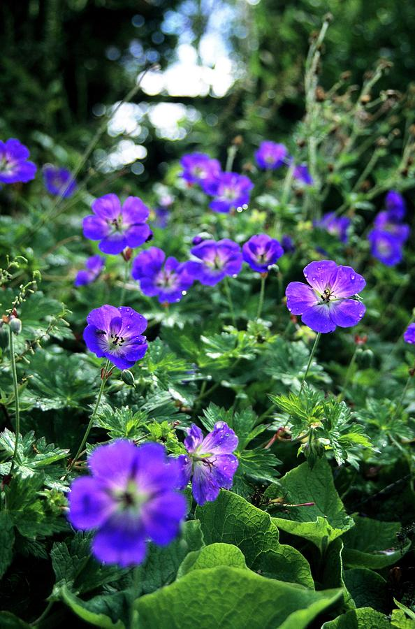 Geranium-'Rozanne. Top 10 Flowers that Bloom All Summer