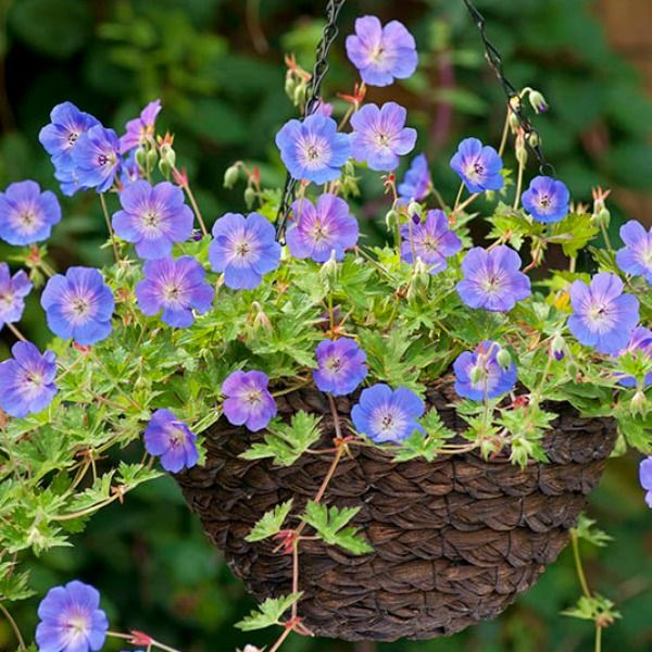 Geranium-'Rozanne Top 10 Flowers that Bloom All Summer