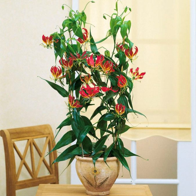 Gloriosa-Lily..-675x675 Top 10 Most Expensive Flowers in The World
