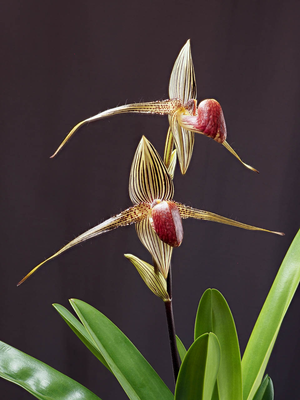 Gold-of-Kinabalu-Orchid Top 10 Most Expensive Flowers in The World