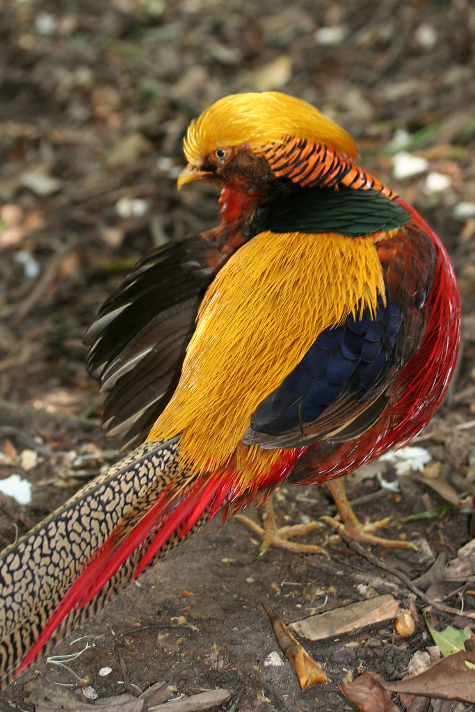 Golden-Pheasant.-1 Top 20 Most Beautiful Colorful Birds in The World