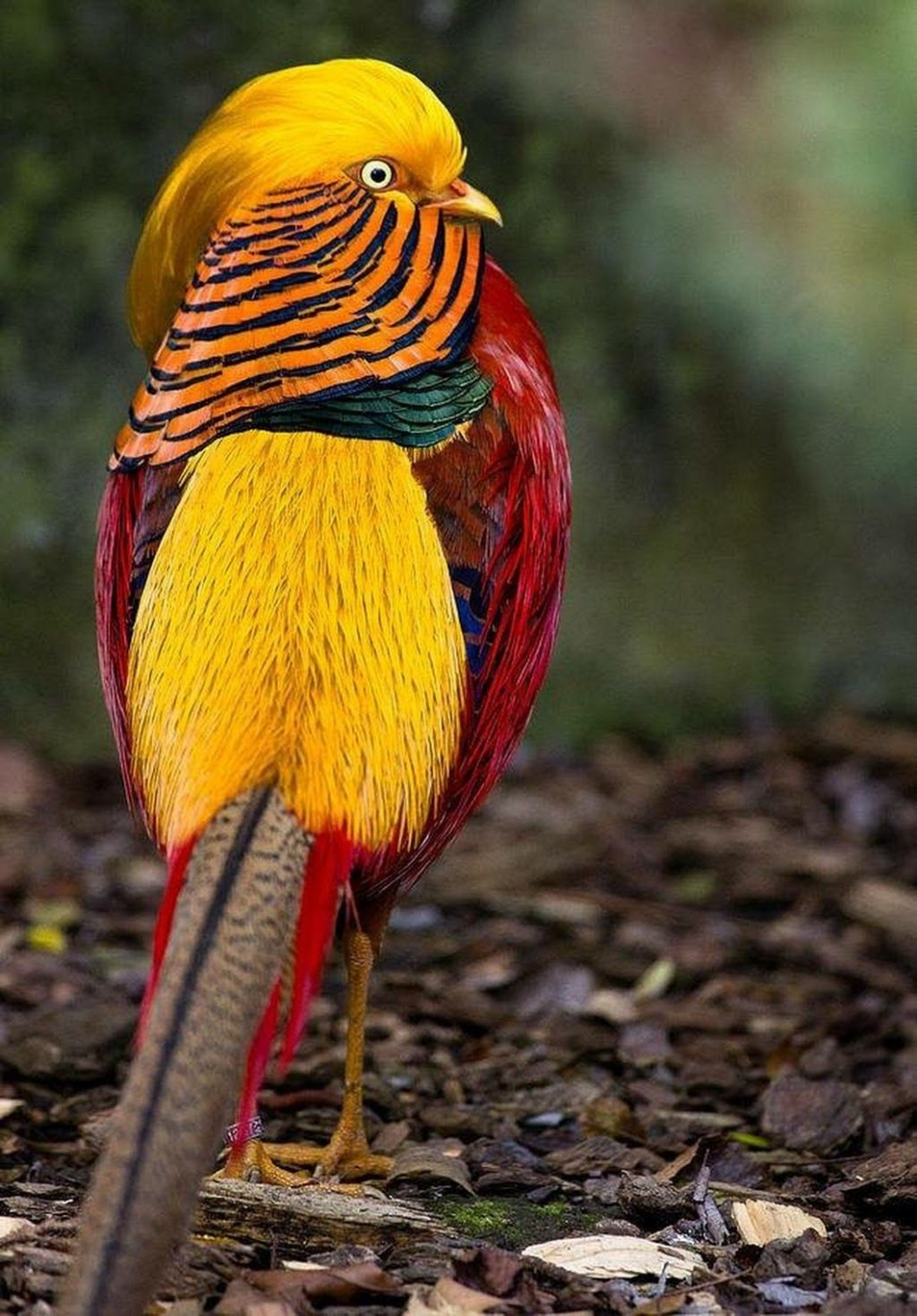 Golden-Pheasant.-1024x1470 Top 20 Most Beautiful Colorful Birds in The World