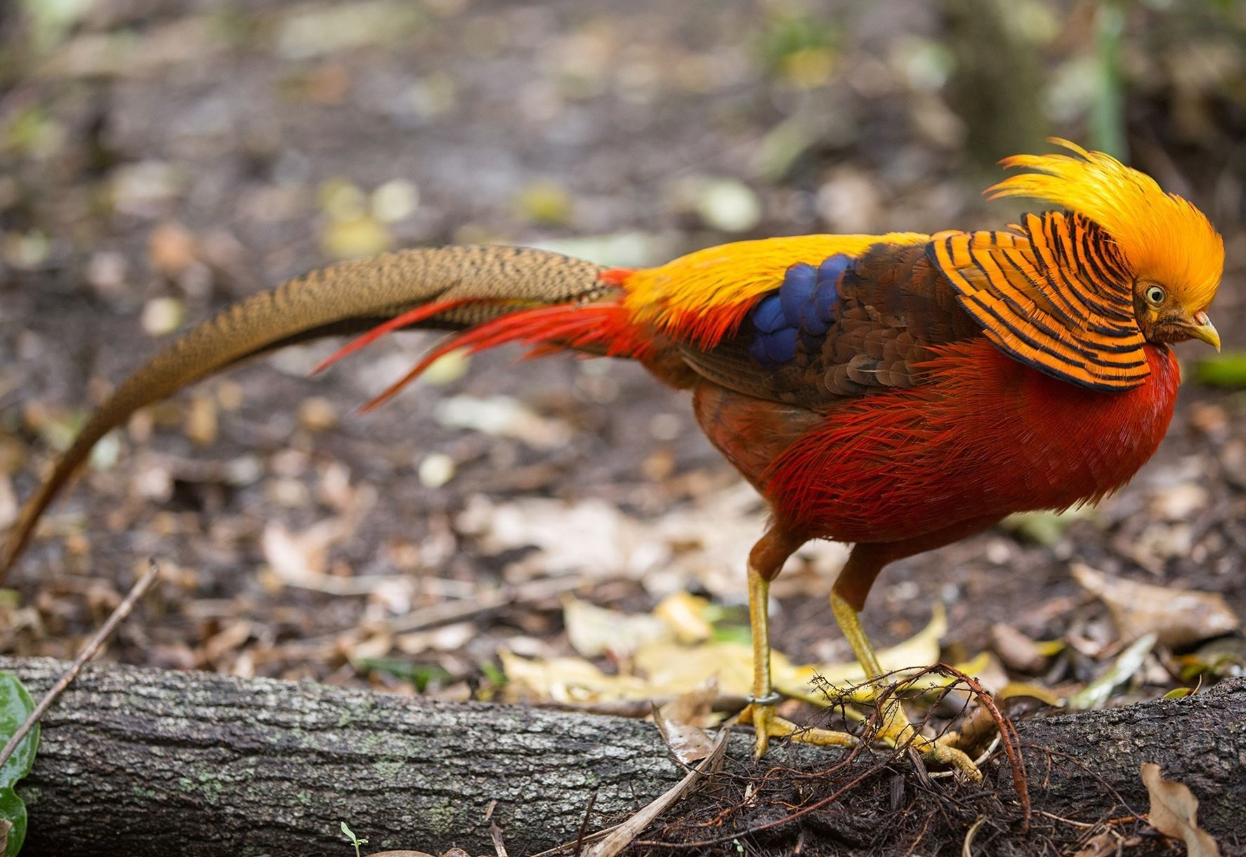 Golden-Pheasant Top 20 Most Beautiful Colorful Birds in The World