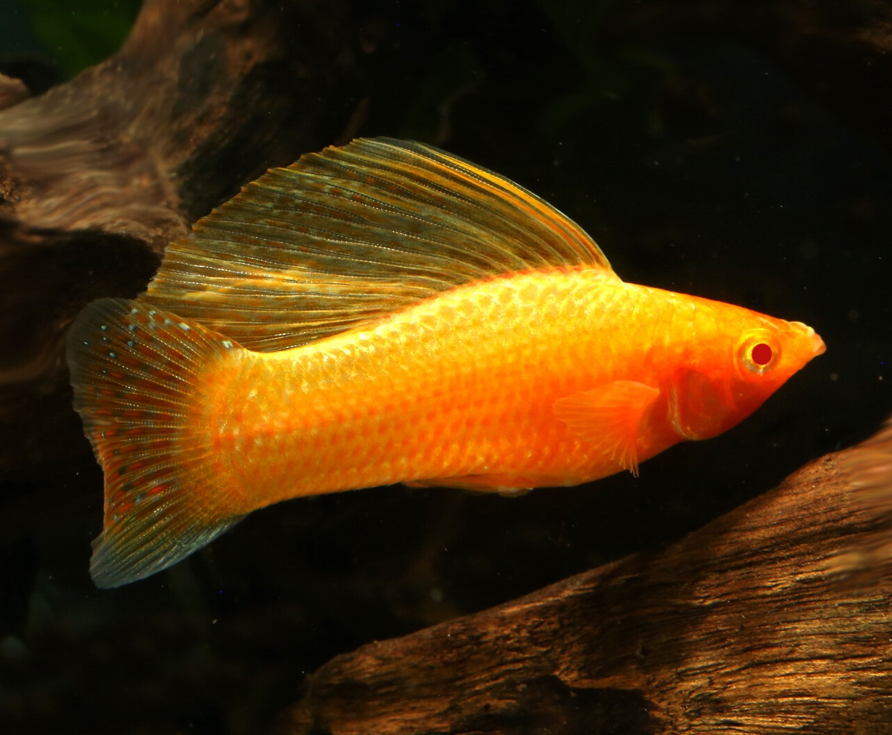 Golden-sailfin-molly-1 Top 10 Most Beautiful Colorful Fish Types