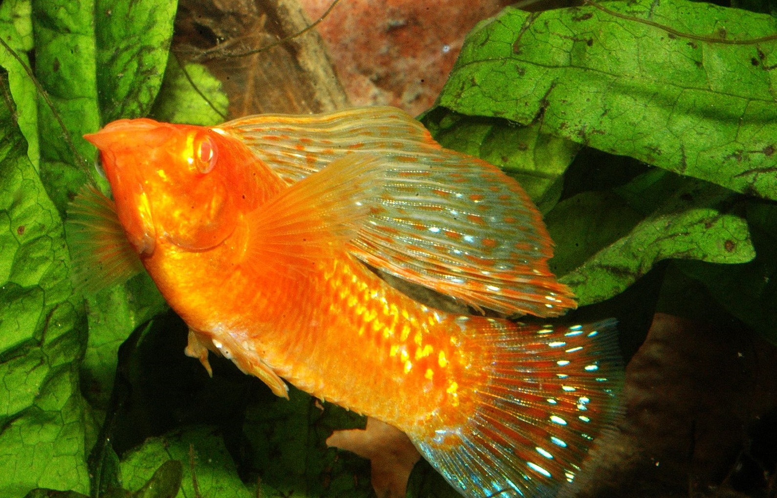 Golden-sailfin-molly.. Top 10 Most Beautiful Colorful Fish Types