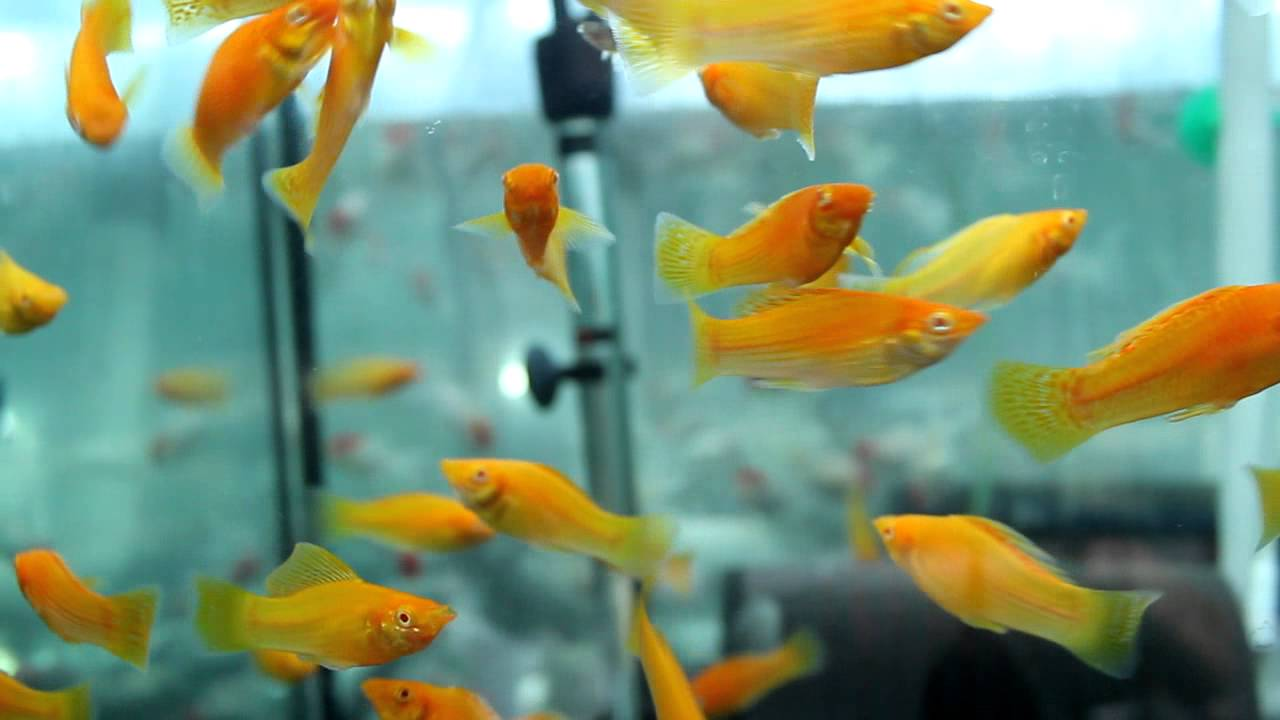 Golden-sailfin-molly. Top 10 Most Beautiful Colorful Fish Types