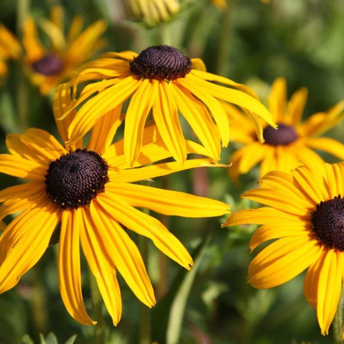 Goldsturm-675x675 Top 10 Flowers that Bloom All Summer