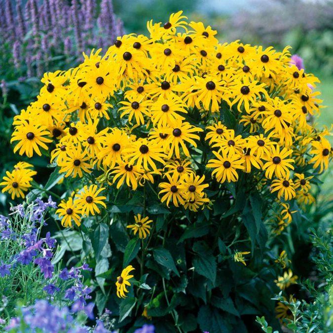 Goldsturm.-675x675 Top 10 Flowers that Bloom All Summer